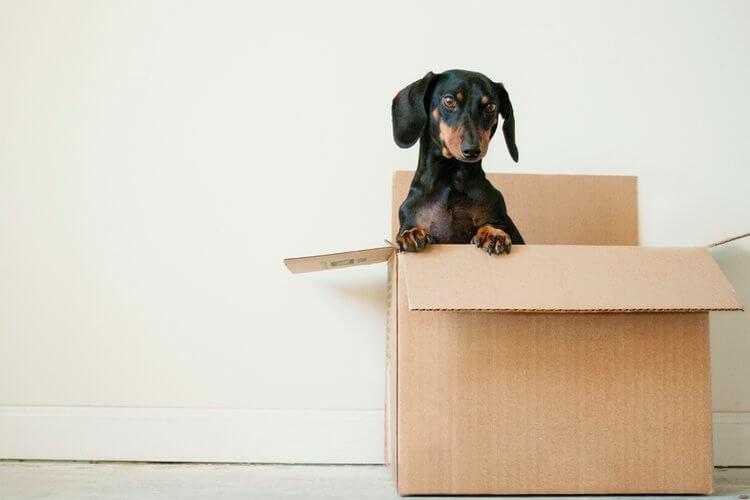 Crni mali pas koji se nalazi u kutiji za pakovanje stvari u sobi